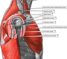 Pop-Anatomy - Major Superficial & Sub-Superficial MUSCLES
