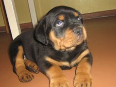 How to Raise a Well-Trained, Non-Aggressive Rottweiler
