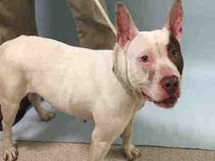 """4/6/17 PRINCESS CLOUD IS SENTENCED TO DEATH BY NYCACC DUE BEHAVIOUR!! AT INTAKE THEY STATED """"VERY NICE DOG, CALM DURING INTAKE. ALLOWED HANDLING ALSO""""! I WONDER WHAT'S HAPPENED DURING HER STAY IN HELLHOLE NYCACC? /IJ Manhattan Center CLOUD – A1107000 **SAFER : EXPERIENCED HOME / NO CHILDREN** FEMALE, WHITE / BROWN, PIT BULL MIX, 1 yr, 6 mos STRAY – STRAYAVAI, NO HOLD Reason STRAY Intake condition UNSPECIFIE Intake Date 03/25/2017, From NY 11691, DueOut Date 03/28/2017"""