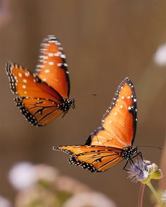 Butterflies RIP Monarch....disappearing from the planet.  :(     they need milkweed and their forest habitat is deforested.