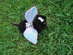 If I did this, Doug might bite me. HA! Make fairy wings for your pet. this is a teacup pomeranian -- CUTE