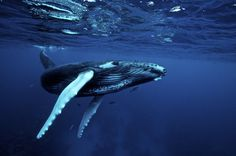 Why do humpback whales protect other species from attack?