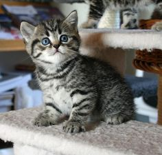 British Shorthair Kitten | Cattery Gryffindors | Germany | www.kittentekoop.nl