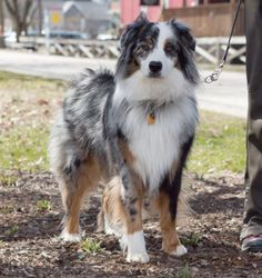 Kip, a 1-1/2-year-old Australian Shepherd. He walks the Monon Trail every weekend, usually in different sections. with Kevin & Emily.