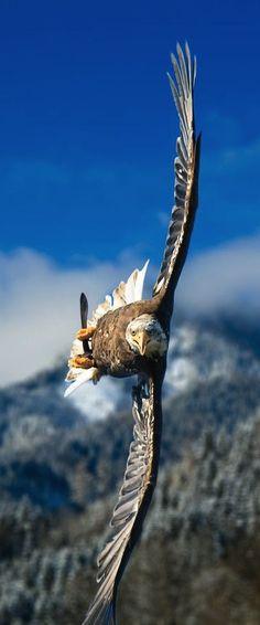 """Bald Eagle. Love the flight angle, incredible piloting skills!"" - Never seen a photo like this."