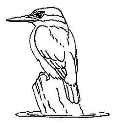 Learn How to Draw a Belted Kingfisher (Birds) Step by Step ...