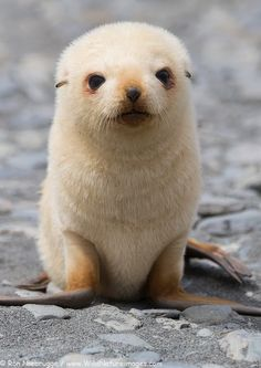 Blondie baby fur seal on South Georgia, Antarctica. Photo taken by Ron Niebrugge on our recent Antarctic expedition.