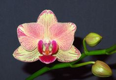 Phalaenopsis 'Pirate Picotee' - Flickr - Photo Sharing!