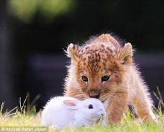 The lion cub appears to be eyeing up its prey
