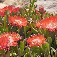 Hardy Ice Plant - Perennial