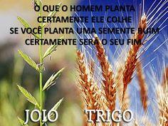 O trigo e o Joio