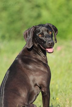 Image result for rhodesian ridgeback black