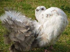 A silky feathered Fantail Pigeon