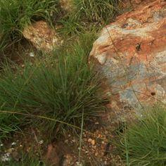 Sporobolus pectinatus Grass Type, Grasses, Wild Flowers, Herbs, Garden, Plants, Lawn, Garten, Wildflowers