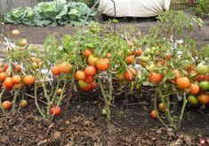 Chicken Garden, Growing Tomatoes, Small Farm, Farm Gardens, Vegetable Garden, Life Is Good, Soda, Pumpkin, Vegetables