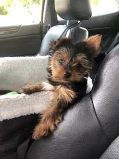 Just chillin in car seat. Yorkies, Yorkie Puppy, Cute Dogs And Puppies, Baby Dogs, Pet Dogs, Pets, Cute Dogs Breeds, Dog Breeds, Baby Animals