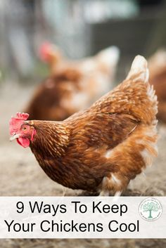 A chicken can get heat stroke and even die if they get too hot.  Here are 9 easy ways to keep your chickens cool in hot weather.  The Homesteading Hippy via @homesteadhippy
