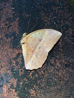Discophora sondaica (Lepidoptera: Nymphalidae), male