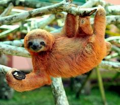If you've ever been interested in finding an animal that's as lazy as you are, the sloth is your guy. The Sloth Sanctuary in Costa Rica has a bed & breakfast. Animals Of The World, Animals And Pets, Baby Animals, Cute Animals, Baby Sloth, Cute Sloth, Unusual Animals, Animals Beautiful, My Spirit Animal