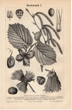 1895 Antique Botanical Print, Corylus avellana, Common Hazel, Hazelnut, Europe, British Isles, Iberia, Greece, Turkey, German Engraving