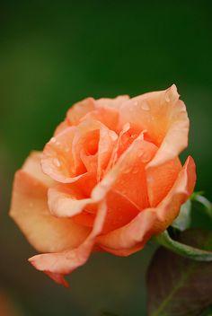 Rose ~ by radishhai, via Flickr