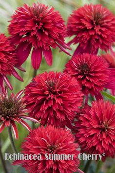 Hybrid Coneflower 'Summer Cherry' (Echinacea x hybrida) Flower Farm, My Flower, Red Flowers, Beautiful Flowers, Perennial Bulbs, Small Backyard Design, Paper Bouquet, Foliage Plants, Colorful Garden
