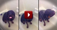 This sweet Rottweiler loves her weekly bath. But it's obvious that she thought showering looked like even MORE fun! And now she doesn�t want to get out! So cute!