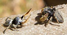 Cerca de 110 espécies de insetos e aracnídeos apresentam comportamento homossexual, mas, em muitos casos, é por acidente!