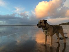 Border terrier on the beach Border Terrier, Best Dog Breeds, Best Dogs, I Love Dogs, Cute Dogs, Patterdale Terrier, Wire Haired Dachshund, Brown Dog, Terrier Dogs