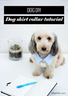 Dog shirt collar tutorial for your pampered pooch: DDG DIY