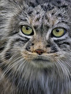 Pallas' cat from Russia. Unlike other cats it has round pupils.