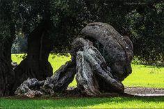 Beautiful olive tree http://www.salentourist.it/default_en.aspx