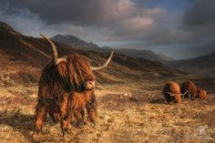 The Beasts, those Hairy Coos on the Isle of Skye.