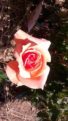 Garden mobile phone snapshot 3 #rose #flower #garden