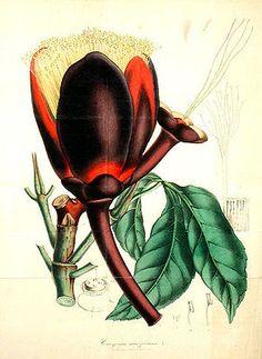 """#Souarinussbaum (Caryocar nuciferum), Illustration """"Der Souarinussbaum, auch Butternuss oder Indie Noto genannt, (Caryocar nuciferum L., Syn.: Caryocar villosum (Aubl.) Pers., Cayocar butyrosum (Aubl.) Willd., Caryocar tomentosum Willd., Caryocar tuberculosum (Aubl.) Baill., Pekea tuberculosa Aubl.) ist eine tropische Laubbaumart aus der Gattung Caryocar in der Familie der Caryocaraceae. Der Souarinussbaum ist in Guyana, Kolumbien, Venezuela, Peru und Brasilien heimisch."""""""