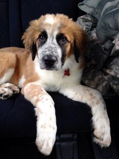 St bernard, Husky & Australian Shepherd mix named Meeks months old) Lab Puppies, Cute Dogs And Puppies, I Love Dogs, St Bernard Mix, St Bernard Puppy, Australian Shepherds, Dog Crossbreeds, Rare Dog Breeds, Sweet Dogs