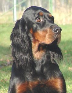 Gordon Setter Source by roswitham Gordon Setter, Setter Puppies, Dogs And Puppies, Doggies, I Love Dogs, Cute Dogs, Red And White Setter, Irish Setter, Wildlife Art