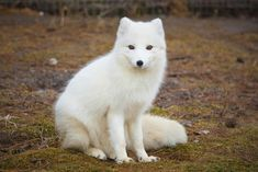 What winter animal are you? I'm an Arctic Fox! Animals And Pets, Baby Animals, Funny Animals, Cute Animals, Baby Arctic Fox, Fox Species, Fox Pictures, Fox Art, Cute Fox