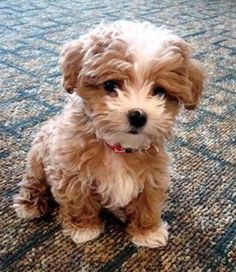 Maltipoo ( Maltese and Miniature/Toy Poodle mix); Top 5 Most Cute Dog Breeds More Maltipoo ( Maltese and Miniature/Toy Poodle mix); Top 5 Most Cute Dog Breeds Cute Baby Animals, Animals And Pets, Funny Animals, Funny Dogs, Small Animals, Funny Humor, Pet Dogs, Dog Cat, Doggies