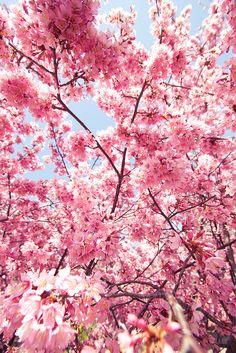 Flor de cerezo. Más