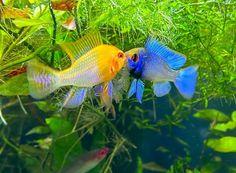 """AquaMom on Instagram: """"When sparring looks like art 🎨 . . . . . . #nanotank #aquarium #aquariumfish #aquariumhobby #plantedtank #plantedtanks #plantedaquarium…"""" Nano Tank, Freshwater Aquarium Fish, Planted Aquarium, Fresh Water, 1, Instagram, Animals, Pisces, Animales"""