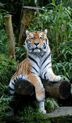 Siberian Tiger Wikipedia The Free Encyclopedia Animals And