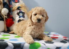 Buy Cheap Goldendoodle Puppies for Sale near me Goldendoodle Puppy For Sale, Labradoodle, Puppies For Sale, Buy Cheap, Doodle Dog, Cute Animals, Doodles, Dogs, Stuff To Buy