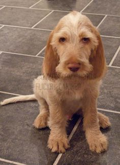 Italian wired hair pointer puppy.  Look at that scruffy face, awwwwwh.