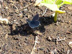 ES BLAUT SO SCHÖN IM GARTEN Wenn der Bläuling (Lycaenidae) seine Kreise zieht und etwas Schatten sucht