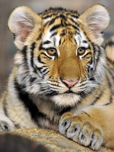 ~~Amur Tiger Cub by Eve's Nature~~