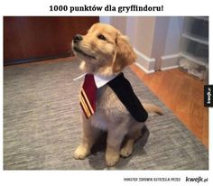 Cute puppy in Harry Potter costume. If you went to Hogwarts, what would your favorite subject be? Comment below! Memes Do Harry Potter, Harry Potter Cosplay, Harry Potter Cast, Harry Potter Characters, Harry Potter World, Harry Potter Costumes, Always Harry Potter, Cute Harry Potter, Chien Halloween
