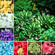 1bag=100pcs Hosta Seeds Perennials Plantain Lily Flower White Lace Home Garden Ground Cover Plant free shipping #Affiliate