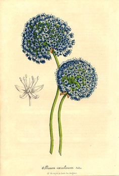 Alliaceae - Allium caeruleum. From: Flore des serres et des jardins de l'Europe by Charles Lemaire and others.