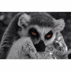 Lemur Photography Projects, Owl, Lemurs, Bird, Animals, Animales, Animaux, Owls, Birds